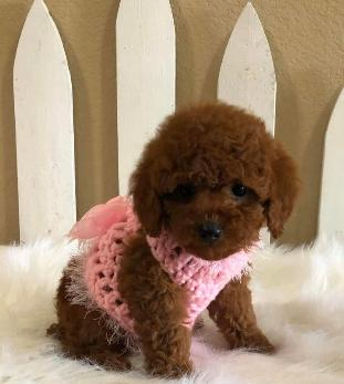 Red Toy Poodle Breed in Arkansas