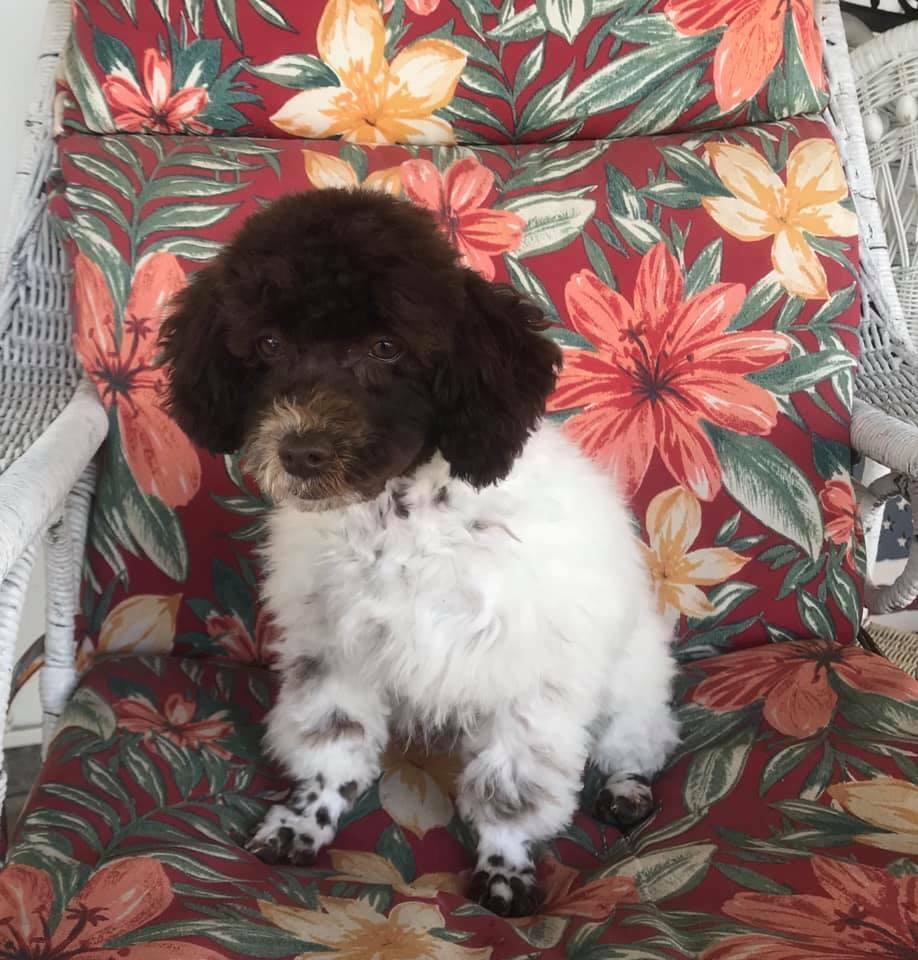 AKC Male Dark Brown/White Toy Parti Poodle