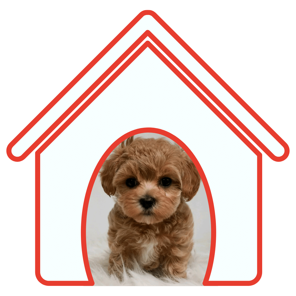 Fisher Mountain Puppies Gorgeous Dark Red Maltipoo Puppies for Sale