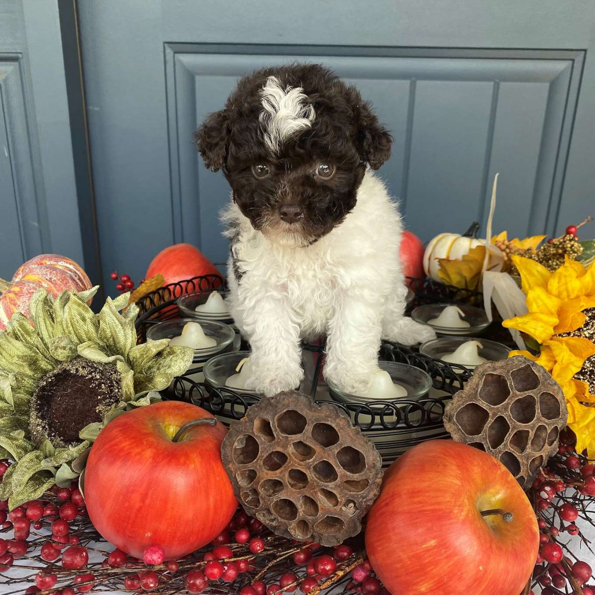 Layla - Parti Maltipoo Puppies for Sale in MO