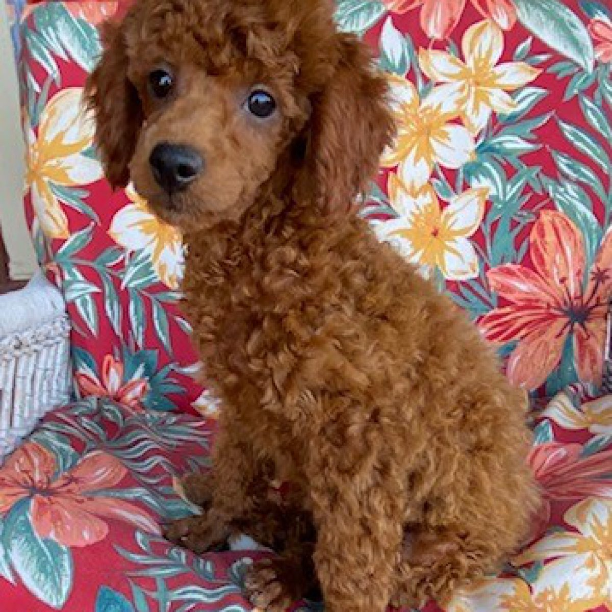 MAX Red Poodle Featured
