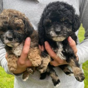Our Maltipoo Puppies