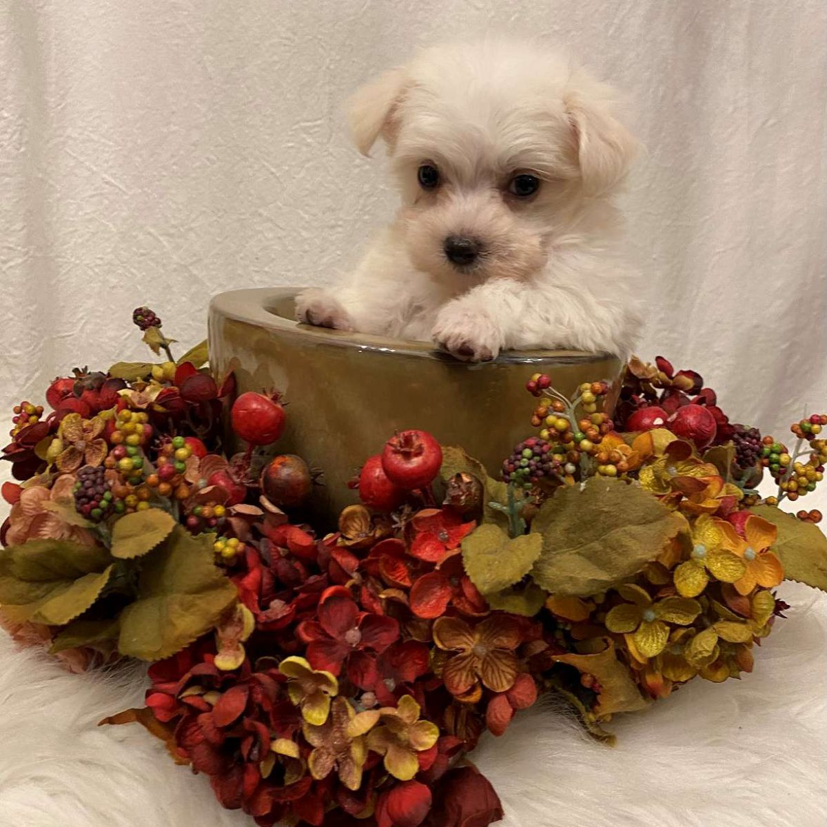 Teddy - Maltese Puppies for Sale-1600
