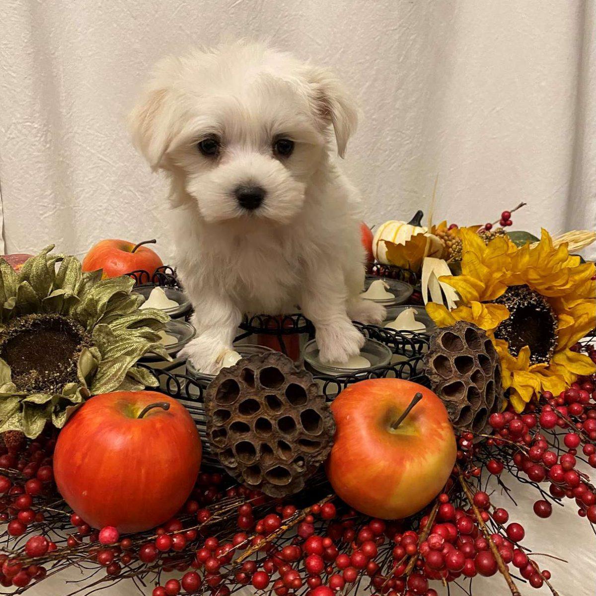 Tundra - Maltese puppies for Sale In Arkansas