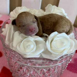 newborn-chocolate-red-Maltipoo-puppies