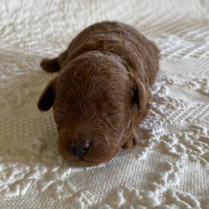 newborn-dark-red-Maltipoo-puppies