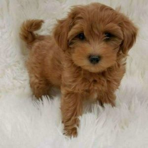 red-maltipoo-puppies-on rug