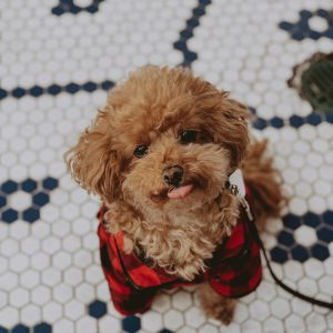 red-maltipoo-puppies-tile